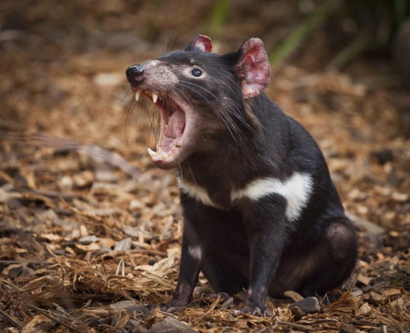 geluiden tasmaanse duivel