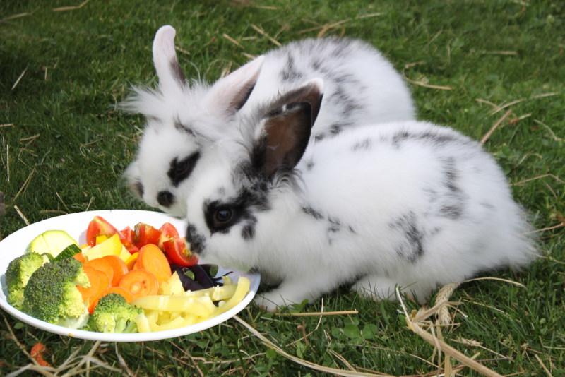 konijn vegatierer