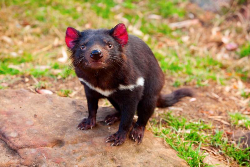 ziekte bij tasmaanse duivel