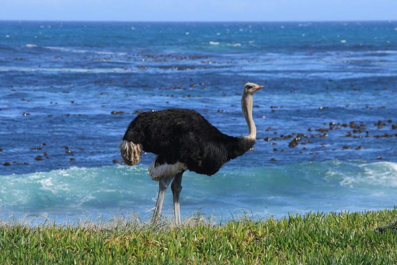 Zuid Afrikaanse struisvogel