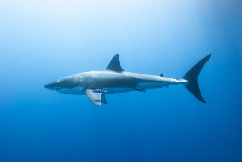 een van de grootste haaien