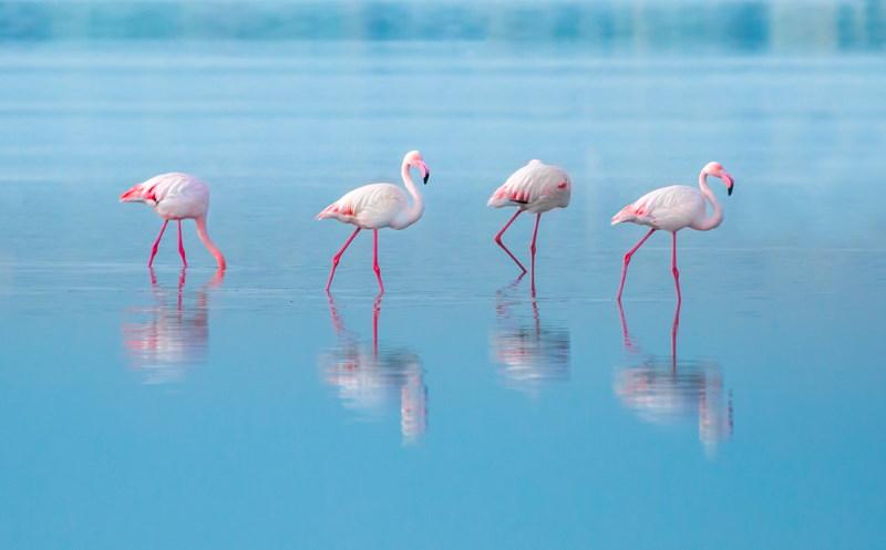 flamingo bedreiging