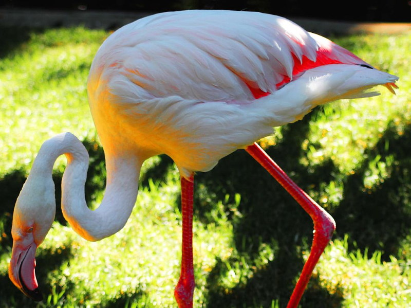 flamingo oudste greater