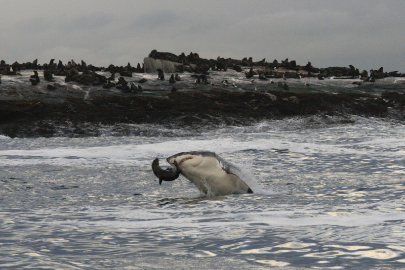 leefgebied witte haai