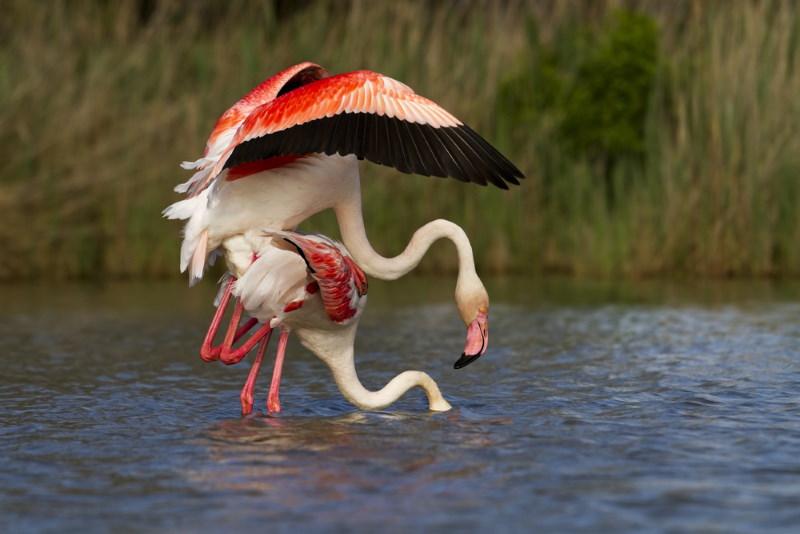 paringsdans flamingo