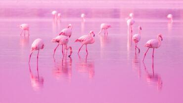 roze flamingo