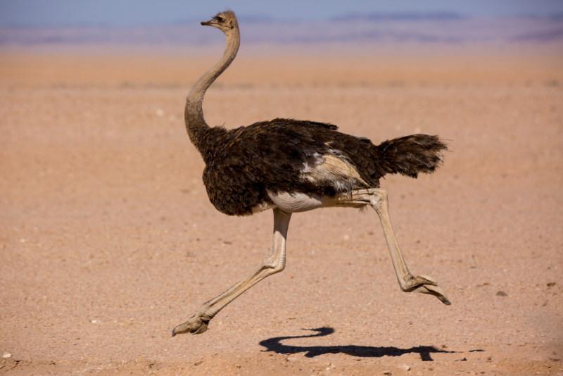 snelste vogel op het land