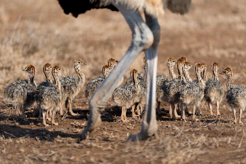struisvogel babies