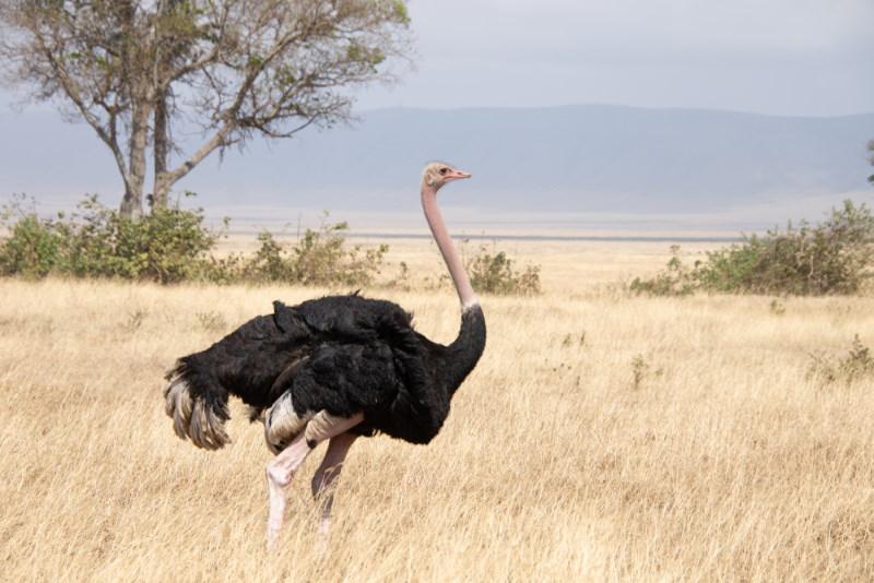 struisvogel kan niet vliegen