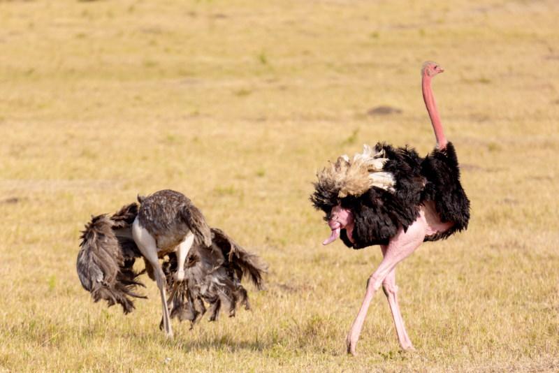 struisvogel penis