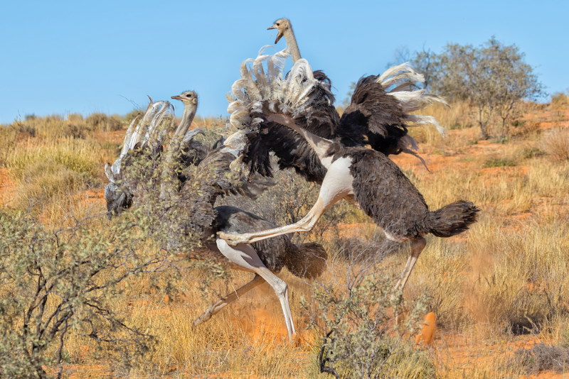vechtende struisvogels