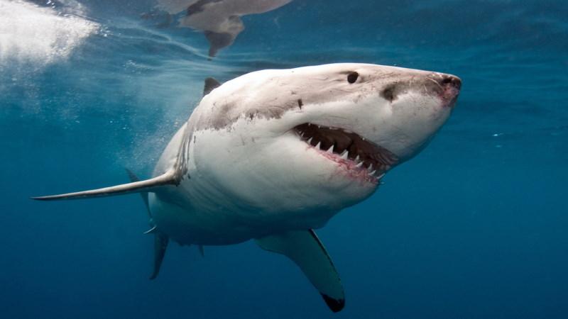 witte haai speurneus