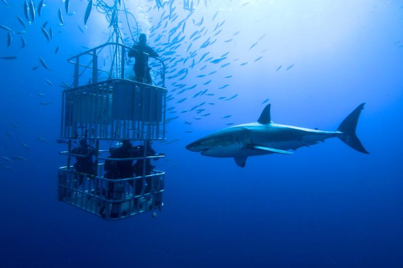witte haai toerisme