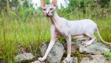 Sphynx kat